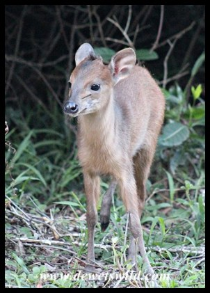 Red Duiker lamb that hung around our cottage at Umlalazi