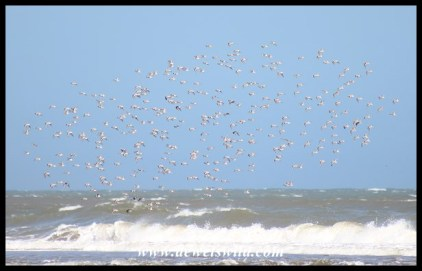 Flock of Sanderlings