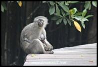 Vervet Monkey female with baby