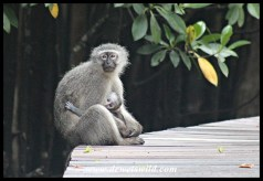 Vervet Monkey female with baby