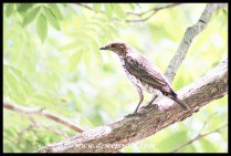 Violet-backed Starling (female)