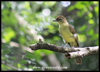 Yellow-bellied Greenbul