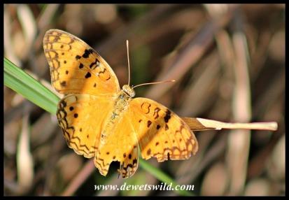 African Leopard (Phalanta-butterfly)