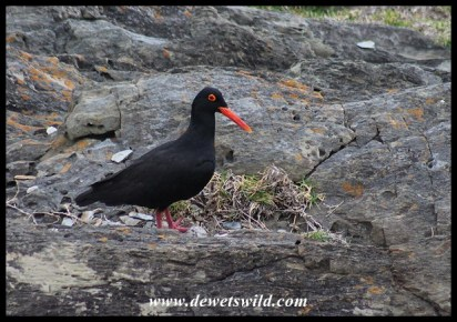 African Oystercatcher at nest with eggs