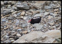 African Oystercatcher on nest