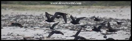 African Oystercatcher flock
