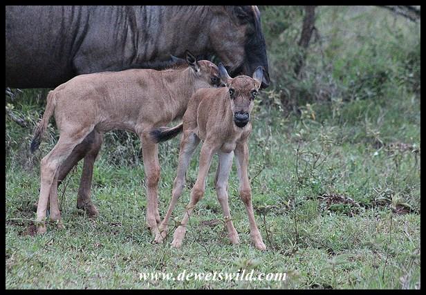 Blue wildebeest cousins