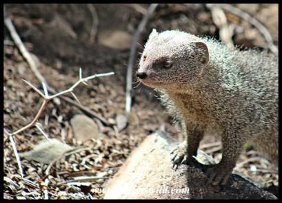 Cape Grey Mongoose (7)