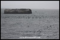 Cape Cormorants setting out to forage at sea