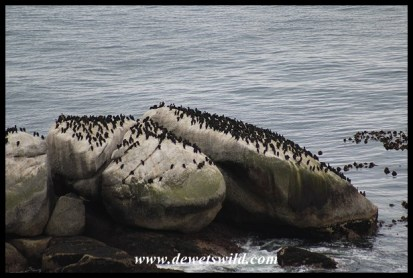 Cape Cormorant colony on a rock near Simon's Town