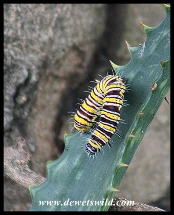 Caterpillar on an aloe branch