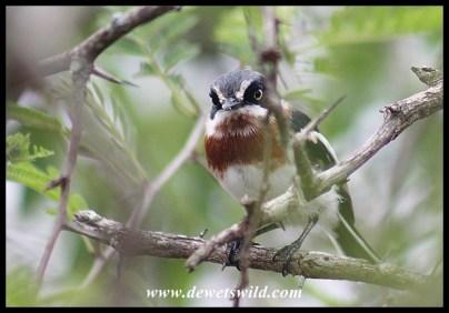 Chinspot Batis (female)