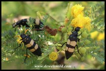 CMR Blister Beetles