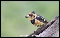 Crested Barbet