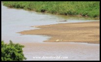 Nile crocodiles on a sandbank in the Black Umfolozi River