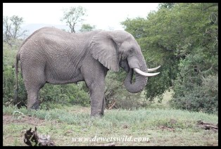 Big elephant bull in musth