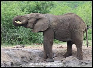 Elephant drinking at Bhejane