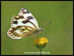 Common Meadow White