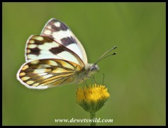 Common Meadow White