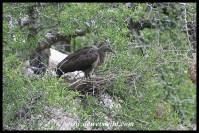 Hadeda Ibis nest at Mphafa hide (photo by Joubert)