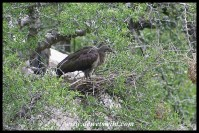 Hadeda Ibis nest at Mphafa hide (photo by Joubert)