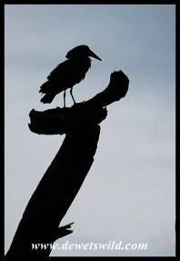 Hamerkop silhouette