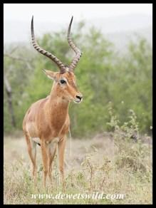 Proud Impala Ram