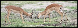 Fighting Impala Rams (photo by Joubert)