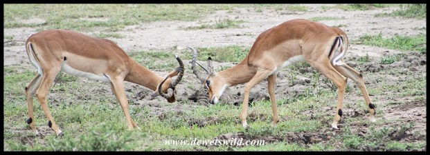 Fighting Impala Rams (photo by Joubert)