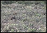 Karoo Korhaan
