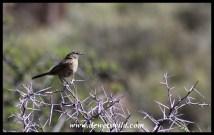 Karoo Scrub Robin