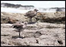 Juvenile Kelp Gulls