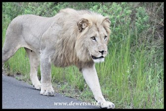 Young male lion on the move