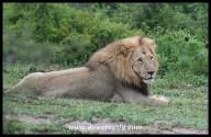 Beautiful male lion (photo by Joubert)