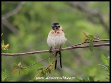 Long-tailed Paradise Whydah (male in transitional plumage)