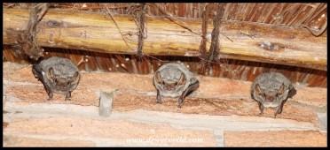 Mauritian Tomb Bats