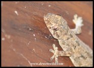 Common Tropical House Gecko