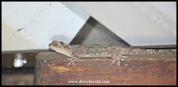 Common Tropical House Gecko eyeing a mosquito