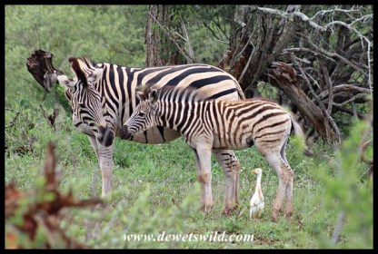 Plains Zebra mare and foal (with a photo-bombing cattle egret)