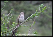 Red-backed Shrike (juvenile)