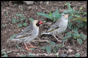 Red-billed Quelea pair