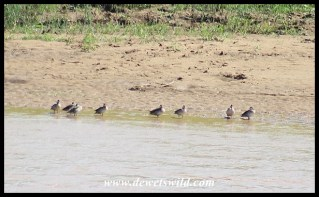 Red-billed Teals