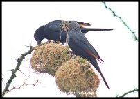 Red-winged Starlings raiding Village Weaver nests, presumably for nesting material