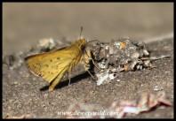Common Hottentot Skipper (male)