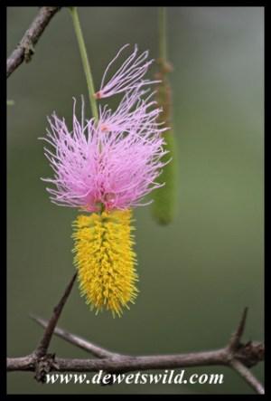 Sickle Bush bloom