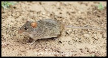 Single-striped Grass Mouse