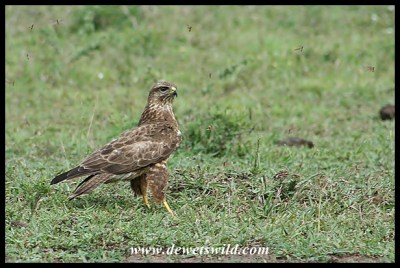 Steppe Buzzard (photo by Joubert)