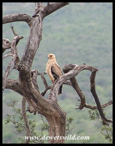 Tawny Eagle (photo by Joubert)