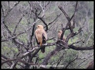 Tawny (front) and Wahlberg's (back) Eagles sharing a tree