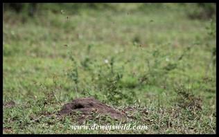 Termite alates taking flight